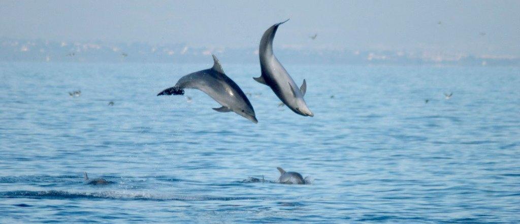 delfines-saltando2