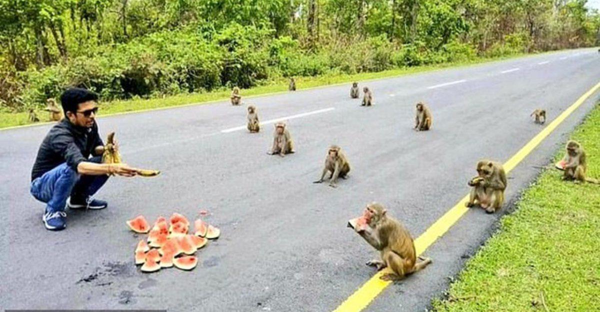 Macacos respeitam o distanciamento social enquanto se alimentam. Um exemplo pra todos.