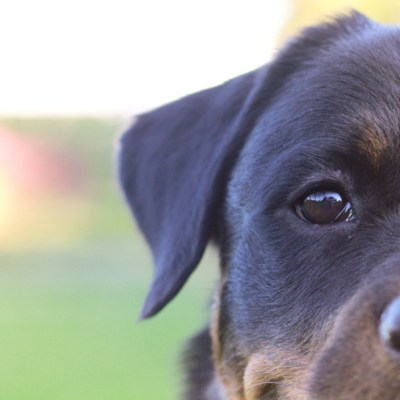 How Do Dogs Contract Tapeworms? #SentinelSpectrum