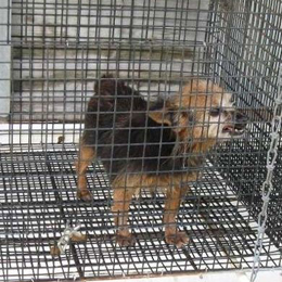 Puppy mill puppy all alone in a small cage getting frustrated and biting cage bars.