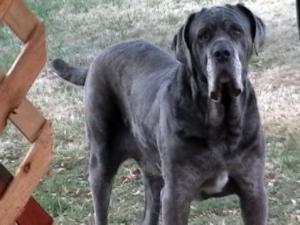 Neo Mastiff at alert