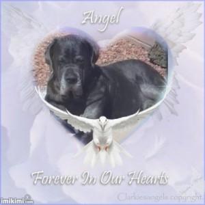Angel Neo Mastiff