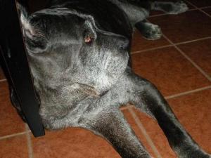 Neo Mastiff leaning against furniture