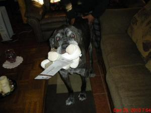 Neo Mastiff with toy in mouth