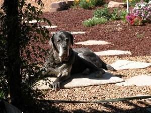 Neo Mastiff sunbathing