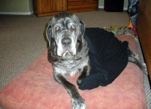Neo Mastiff in bed with blankets covering him