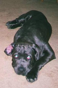 Tired Neo Mastiff puppy