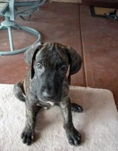 Great Dane puppy on rug