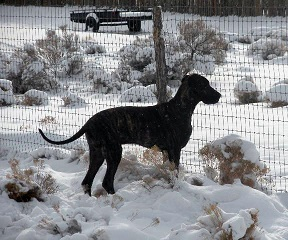 Great Dane puppy in snow