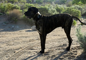 Great Dane on dirt road