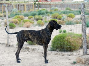 Great Dane in perfect pose