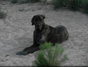 Dane pup laying in the desert in the late evening