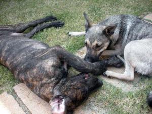 Dane pup and Elkhound mix