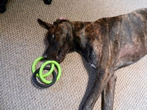 Dane puppy with ring toy