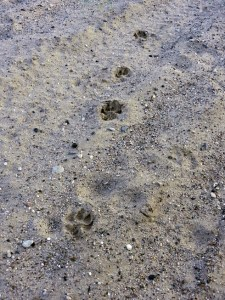 Dane pup's pawprints in the sand