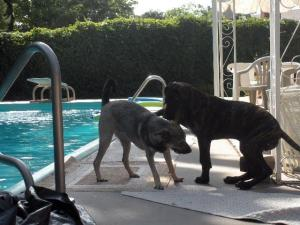 Elkhound mix and Great Dane Pup poolside
