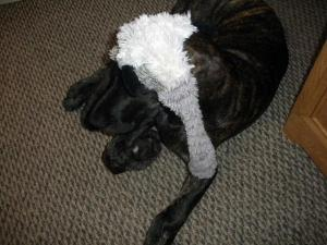 Great Dane puppy with a toy on his head