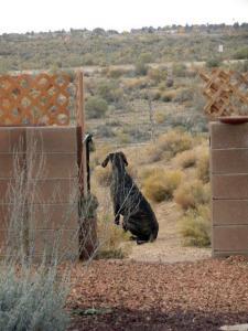 Great Dane pup surveying his domain