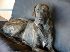 Great Dane on futon