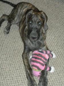 Great Dane Puppy with Big Mean Kitty