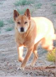 Carolina Dog aka American Dingo