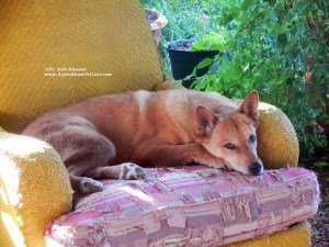 Carolina Dog in a chair