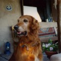 Fridge the Golden Retriever