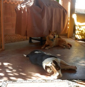 Am Bull and Carolina Dog laying patio together