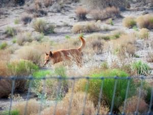 American Dingo Dog