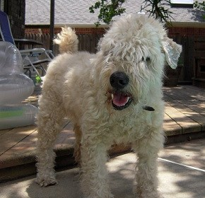 A Letter from Duffy the Wheaten Terrier's Owner Lynn to ATN