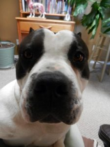 American Bully staring into human's face