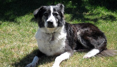 A Letter from Snookie the Border Collie Mix to Animal Talk Naturally