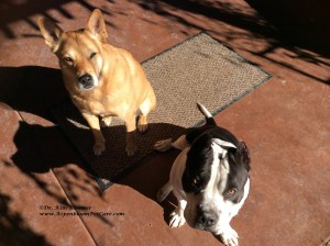 Carolina Dog and American Bully dog