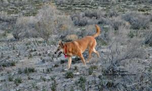 Carolina Dog Schatzie on the Move