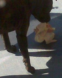 American Staffordshire Terrier eating an RMB