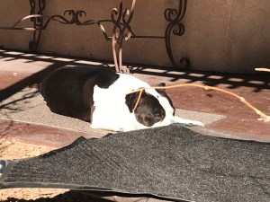 American Bully dog sunbathing in winter