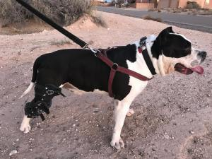 American Bully wearing a knee brace