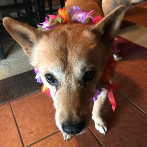 Carolina Dog wearing a lei