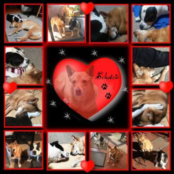 Carolina Dog and American Bully in love