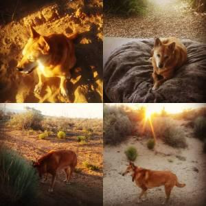 Carolina Dog in the desert