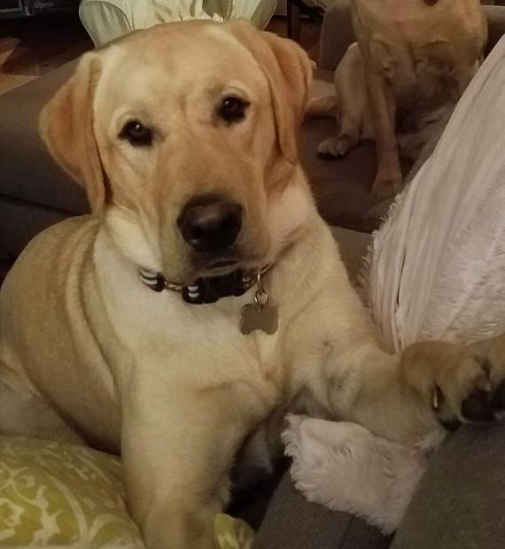 yellow lab shot and