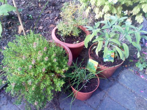 Various potted outdoor plants - potted herbs