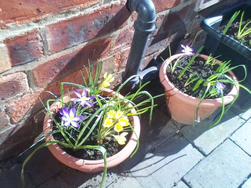 Potted plants in flower next to a brick wall - purple and yellow crocuses