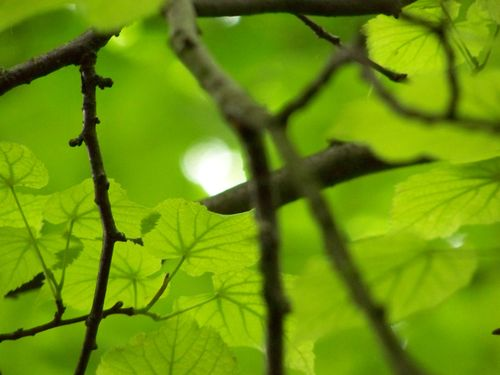 Green light through the leaves