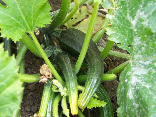 courgettes growing in a home garden