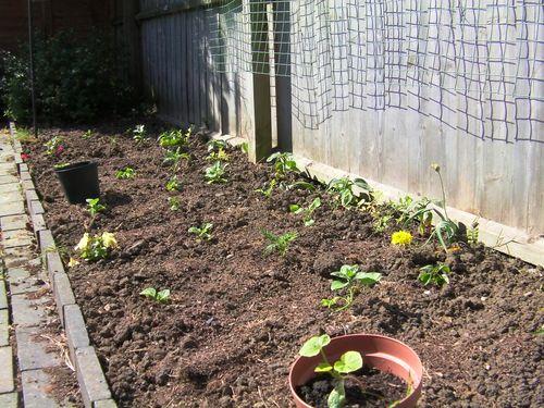 bedding plants in the garden