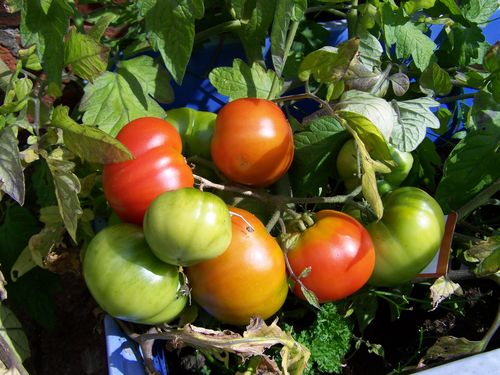 tomatoes at different stages of ripeness growing in the garden