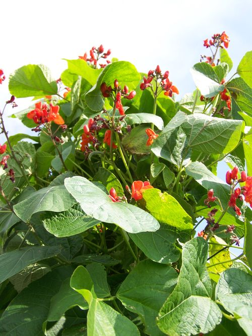 runner bean plants in flower