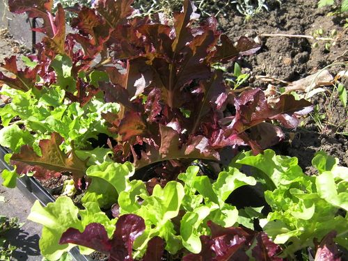 red and green lettuces growing in a home garden
