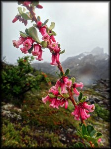 pink flowers with mountain chalten